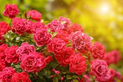 Roze Rose Bushes Blooming Garden Summer stock afbeelding