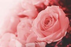 Roze Rose Flowers in Zachte Kleur royalty-vrije stock foto's