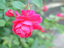 Roze Rose Garden stock foto