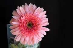 Roze Rose Gerbera With Water Drops royalty-vrije stock afbeeldingen