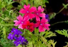 Roze Rose Verbena en Purpere Ijzerkruidbloem Stock Fotografie