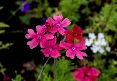 Roze Rose Verbena en Witte Bloem op Achtergrond Royalty-vrije Stock Foto