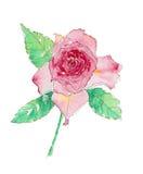 Roze Rose Watercolor Royalty-vrije Stock Afbeeldingen