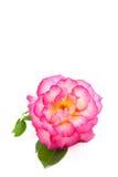 Roze Rose On White Vertical Background Stock Afbeeldingen