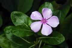 Roze roseus van Nayantara - Catharanthus- Royalty-vrije Stock Foto