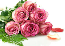 Roze rozen Stock Foto