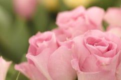 Roze rozen. Stock Foto