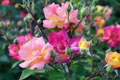 Roze rozen Royalty-vrije Stock Afbeeldingen