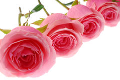 Roze rozen Royalty-vrije Stock Fotografie