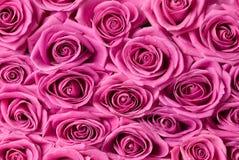 Roze rozen. Royalty-vrije Stock Foto