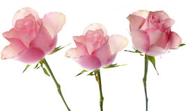 Roze rozen Stock Afbeelding
