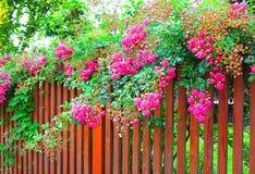 Roze rozen bij de omheining Stock Afbeeldingen