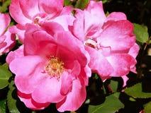 Roze Rozen bij het Park stock afbeeldingen