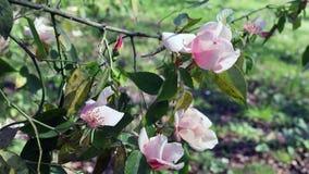 Roze rozen in bloei stock video