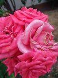 Roze rozen Buch royalty-vrije stock afbeeldingen