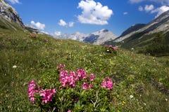 Roze rozen in de alpen stock fotografie