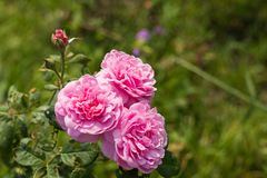 Roze rozen in de tuin Stock Afbeelding