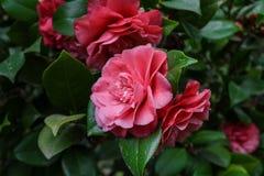 Roze rozen in de tuin Stock Foto