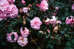 Roze rozen in de tuin Royalty-vrije Stock Afbeeldingen