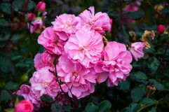 Roze rozen in de tuin Royalty-vrije Stock Afbeelding