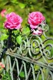 Roze rozen die op een tuinomheining bloeien Royalty-vrije Stock Foto
