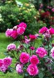 Roze rozen in een tuin Royalty-vrije Stock Afbeeldingen