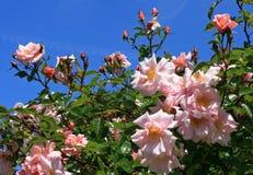 Roze rozen in een tuin tegen een blauwe hemel Royalty-vrije Stock Afbeelding