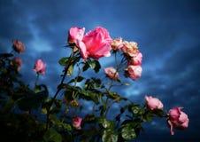 Roze rozen en donkerblauwe hemel stock afbeeldingen