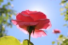 Roze rozen en zon, blauwe aardige hemel Royalty-vrije Stock Afbeelding