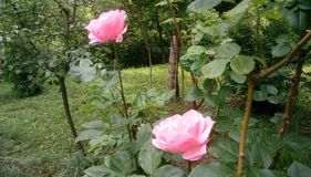 Roze rozen in hout stock afbeeldingen