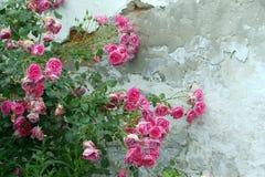 Roze rozen langs de oude muur Stock Foto's