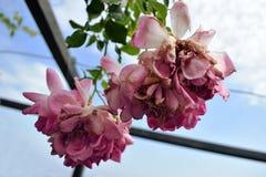 Roze rozen met blauwe hemelachtergrond stock afbeeldingen