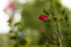 Roze rozen met knoppen in tuin op groene vage achtergrond Royalty-vrije Stock Foto