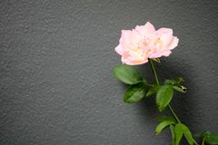 Roze rozen met takken en groene bladeren royalty-vrije stock foto's