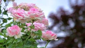 Roze rozen op een winderige dag stock footage