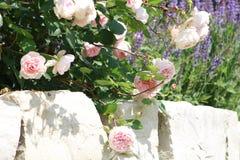 Roze rozen op steenmuur Royalty-vrije Stock Foto's