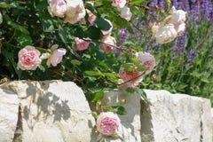 Roze rozen op steenmuur Stock Foto