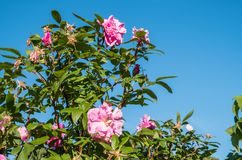 Roze Rozen op Sunny Day Stock Foto's