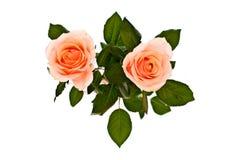Roze rozen op wit Royalty-vrije Stock Afbeeldingen