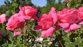 Roze rozen in park stock footage