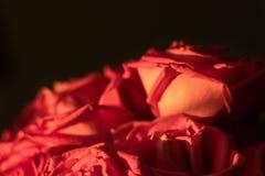 Roze Rozen in Recent Avond Gouden Zonlicht Royalty-vrije Stock Afbeeldingen