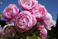 Roze Rozen in Rose Garden, Florence, Itali? - 23 Mei 2016 stock foto's