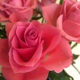 Roze rozen voor me Stock Foto's