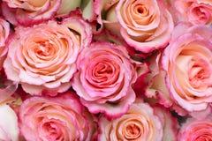 Roze rozenachtergrond Royalty-vrije Stock Afbeeldingen