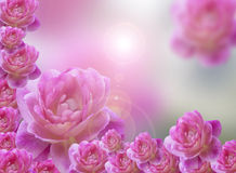 Roze rozenachtergrond Stock Fotografie