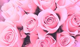 Roze rozenbehang als achtergrond stock afbeeldingen