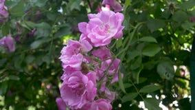 Roze rozenbloemen stock footage