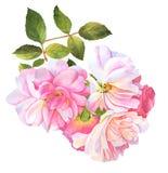 Roze rozenstruik in bloesemwaterverf Royalty-vrije Stock Afbeelding