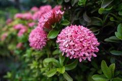 Roze rubiaceae onder groene bladeren Royalty-vrije Stock Afbeelding