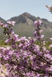 Roze Sage Bush Flowers Blossoming With-Berg op de Achtergrond Stock Foto